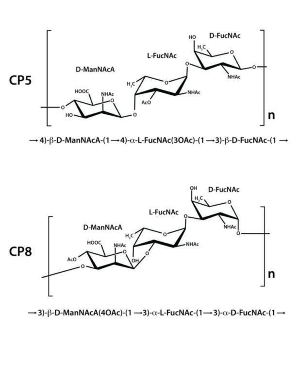 S. aureus capsular polysaccharide structure